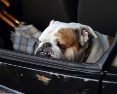 Bulldog in Car