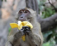 Macaque eating a banana