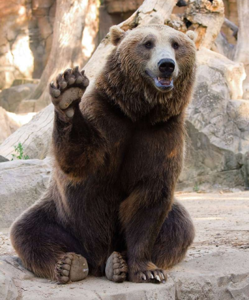 Grizzly High Five