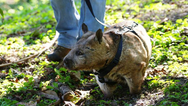Wombat on a lead