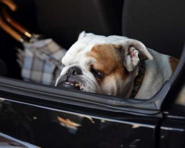 Bulldog in Car