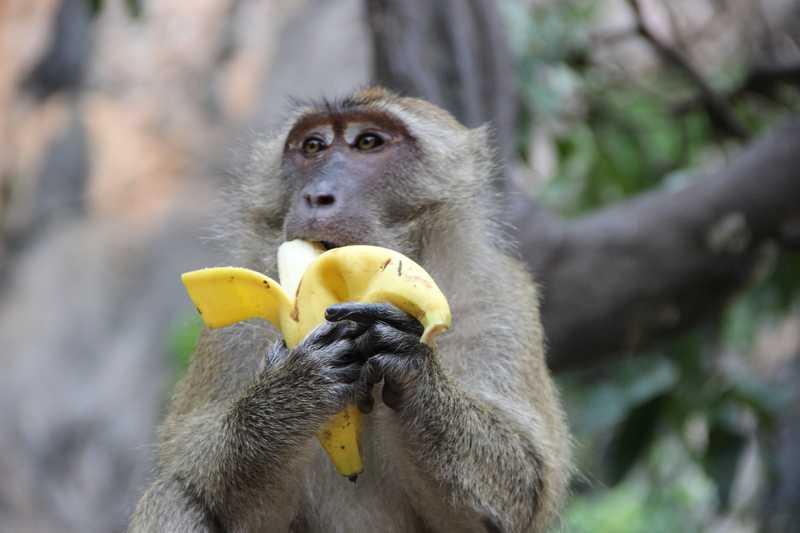 Macaque eating a banana