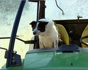 Don the Sheepdog