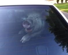 Pig in Car